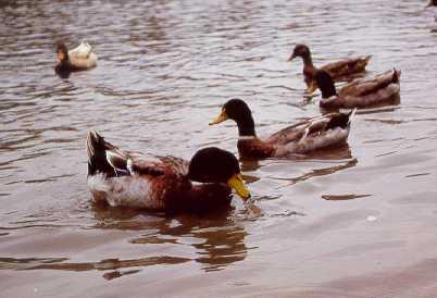 duck04.jpg